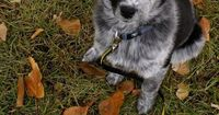 Australian shepherd puppy. Don't know if this fits in this category, but if I ever own a dog, I want an Aussie. They are so perfect, I've met two and loved them both. I was worried they weren't good with kids, but one visited my classroom the ...