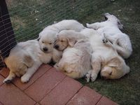 golden retriever puppies <3 puppy cute