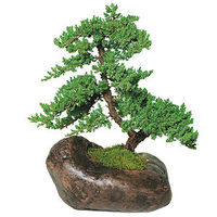 The natural movement of this tree's trunk and branches capture the essence of bonsai, making Green Mound the most used juniper variety. The texture of the Green Mound Juniper's foliage and the ease of trimming make this outdoor bonsai a winner...