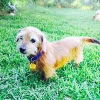 Meet Buddy Holly, a Dachshund, Miniature Wire Haired available for adoption from Austin Pets Alive!
