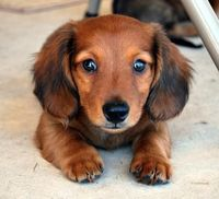 dachshunds, small dog breeds and dog breeds.