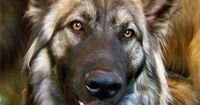 American Alsation, resembles the extinct Dire Wolf. I want a one.