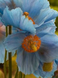 Himalayan blue poppies are one of the few flowers that produce an intense sky-blue blossom. In their native location in China, they can grow to more than 6 feet
