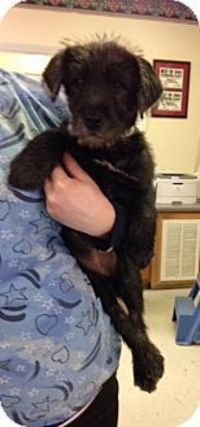 New Jersey, NJ - Schnauzer (Miniature)/Terrier (Unknown Type, Small) Mix. Meet Hamilton NJ - Elsa, a puppy for adoption. http://www.adoptapet.com/pet/12307203-new-jersey-new-jersey-schnauzer-miniature-mix