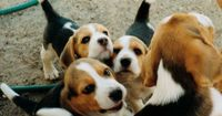 beagle puppies.... awww...
