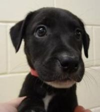 Meet Meg, an adoptable Labrador Retriever looking for a forever home. If you're looking for a new pet to adopt or want information on how to get involved with a