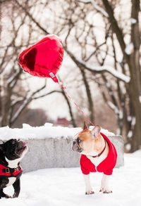 Frenchies toting heart-shaped balloons.