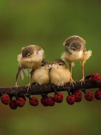 The 'Bar-winged Prinia' (Prinia familiaris) is a species of bird in the cisticola family Cisticolidae. The species is sometimes known as the Bar-winged Wren-warbler. It is endemic to Indonesia, where it occurs on the islands of Sumatra &#4...