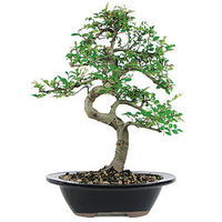 Chinese Elms are deciduous trees with small leaves and fine twigging on their secondary branches. These trees are imported from Chinese nurseries where the branches have been painstakingly trained for years. Chinese Elm trees are durable and while preferr...