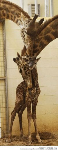 GIRAFFE FAMILY!!!!! OH MY GOSH! =======These giraffes are so cute :)
