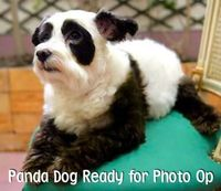 Pandas and Dogs are my two favorite animals--I want her.
