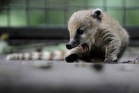 this is a baby coatimundi. i have no idea what that is, but i think i like it.