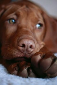 This dog is so cute. Reminds me of my chocolate doggie. Plus my dog's eyes are the same hazel.