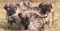 at cabeza grande kennel our first goal is to produce - Presa Canario