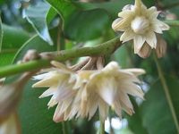 Bakula or Mimusops elengi has been too much in the news for its growing demand. The Bakula pushpa plant has lots to offer and is also called Indian Medlar or Bulletwood tree when it comes to therapeutic benefits.