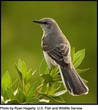 The sounds that these beautiful creatures called Mocking Birds make, Rue and I used to make each other were okay.