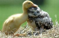 A young duck resting its head on a young owl.