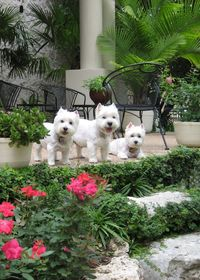 Three is the perfect number! 3 garden westies! have to repost as they are mine!!!!! Precious Katy, Beau and Gayla.