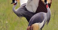 The Grey Crowned Crane or the Crested Crane (Balearica regulorum) is a bird in the crane family Gruidae. It occurs in dry savannah in Africa south of the Sahara, although it nests in somewhat wetter habitats. This animal does not migrate. The Grey...