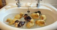 baby ducks- oh how we use to do this. Every Spring we raised ducks to take to the lakehouse and they were in the bathtub many times before they made it to Lake Norman.Sam and Harvey use to swim with us all summer after that.