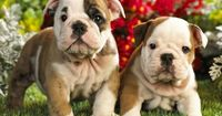 """If there's a better breed of dog that serves as a better name for football teams, we'd like to hear it. The Bulldog �€"""" also sometimes known as the English ..."""