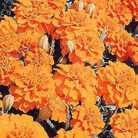 marigold Boy O Boy Orange Seeds The large deep orange double crested flowers are produced prolifically from early June until frosts. A petite bright and cheerful variety which flowers all summer. Average packet contains 115 seeds. http://www.comparestorep...