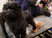 Malachy the Pekingese wobbled off with best in show Tuesday night at the Westminster Kennel Club, becoming America's dog to the delight of an adoring crowd that