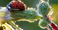 """""""A ladybug perched on a flower bud is inundated with morning dew in a photo taken by German photographer Jens Kolk of Potsdam, Germany. As the sun rose and tendrils of sunlight scored Kolk's garden, the baubles of dew shimmered and shone like spa..."""