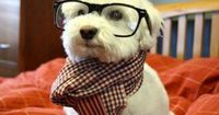 intellectual dog. A white version of mine