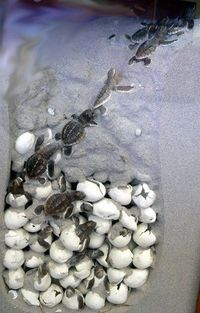 87. Watch a nest of baby sea turtles making their way to the ocean. http://media-cache4.pinterest.com/upload/155233518375432319 Ehr1zdVM f.jpg kopernika the ultimate bucket list