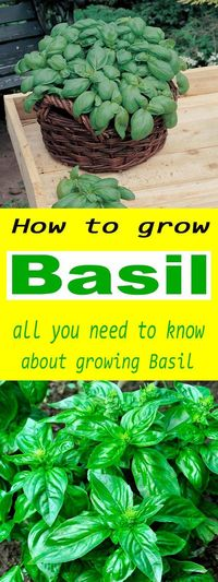 Growing Basil is relatively easy as long as the growing environments has suitable light and temperature levels. Basil is grown for its fragrant tasty leaves tha