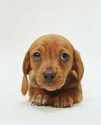 puppy dog eyes, dachshund puppies and miniature dachshunds.